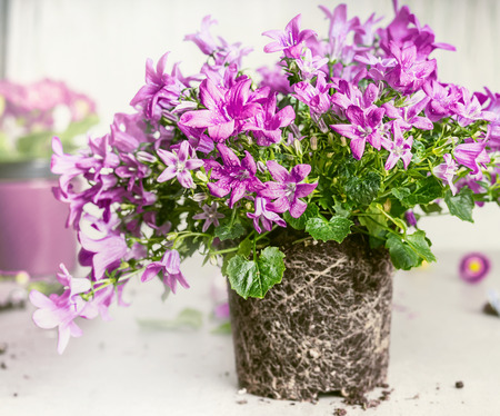 Purple bell flowers with dirt and roots  for planting, front view