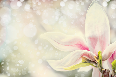 Close up of magnolia flower at pastel background with bokeh. Springtime nature background, floral border