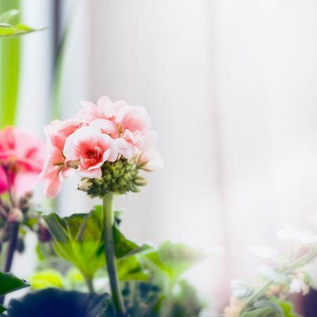 Pale pink geranium flowers, close up