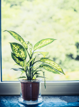 Indoor house dumb cane or Dieffenbachia green plant in pot on window sill, front view
