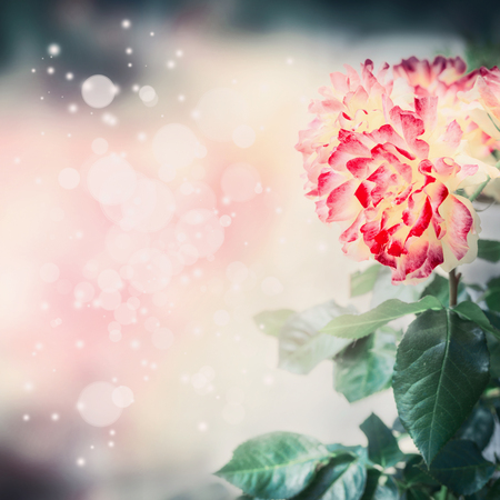 Lovely floral nature background with  unusual red yellow rose and bokeh lighting, floral border