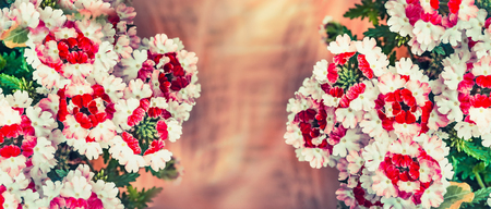 Floral background with verbena flowers, banner Stock Photo