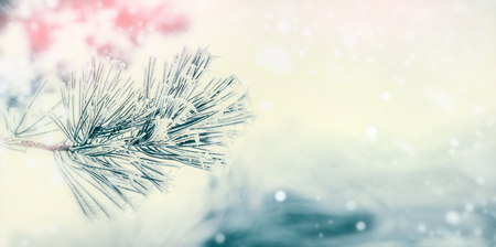 Branch of coniferous tree : cedar or fir covered with hoarfrost and snow at winter day background. Winter outdoor nature