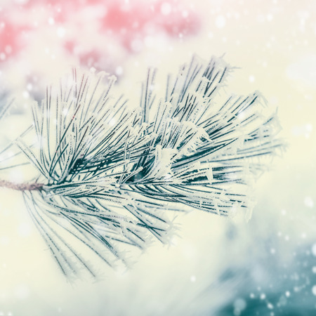 Branch of coniferous tree : cedar or fir covered with hoarfrost and snow at winter day background. Outdoor nature Stock Photo