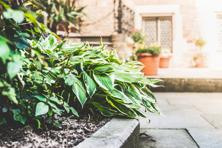 Flowerbed with hosta plant on patio background, outdoor Stock Photo