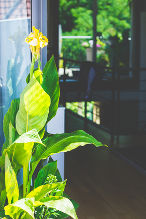 Beautiful Canna plant with flowers at patio window background. Stock Photo