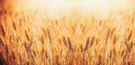 Golden Cereal field with ears of wheat ,  Agriculture farm and farming concept, banner Stock Photo