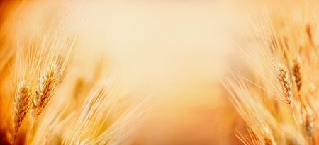 Beautiful nature background with close up of Ears of ripe wheat on Cereal field, place for text close up, fame. Agriculture farm and farming concept, banner