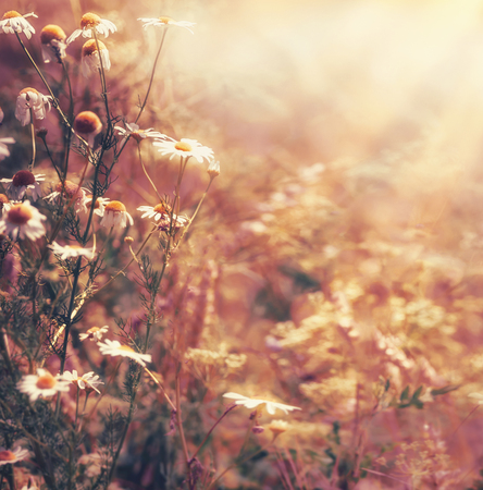 Autumn nature background with daisies flowers and sunbeam.  Late summer country landscape, outdoor nature Stock Photo - 81856960