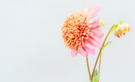 Beautiful  pink Dahlia flowers on light background Stock Photo