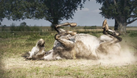 Grey Horse lies on his back , rolling and kicking at pasture background. Happy horses lifestyle and Appropriate attitude Stock Photo