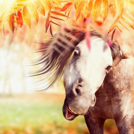 Sluit omhoog van grappig grijs paardhoofd bij de achtergrond van de de herfstaard met kleurrijk van het dalingsgebladerte, weiland en zonnestralen, vierkant
