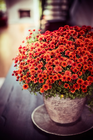 Beautiful Chrysanthemums flowers bunch on dinner table at living room background. Autumn home decoration