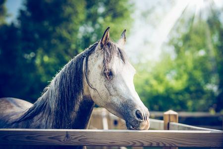 Hermosa cabeza de caballo gris árabe en la valla del paddock en el fondo de la naturaleza de verano con rayos de sol Foto de archivo - 83159727