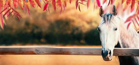 다채로운가 단풍, 배너와가 자연 배경에서 목장 울타리에 아름 다운 회색 말 머리