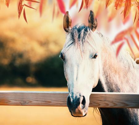 Mooi grijs paardhoofd bij paddockomheining bij de achtergrond van de de herfstaard met kleurrijk dalingsgebladerte