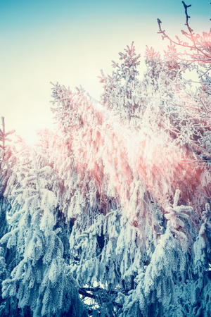 Frozen fir trees with sunlight , sunny winter day , outdoor nature