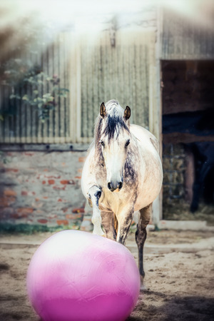 Gray horse play big pink ball in paddock Reklamní fotografie - 83864863