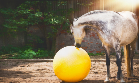 Gray horse looking at big yellow ball in sand paddock