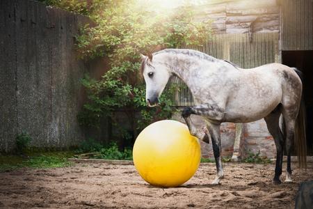 Beautiful gray horse play big yellow ball in sand paddock