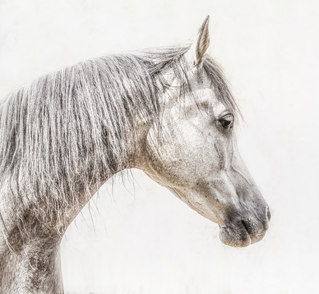 밝은 배경, 프로필 사진에 회색 아라비아 말 머리의 초상