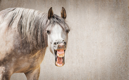 Funny horse face with Open mouthed looking in camera at gray background, place for text