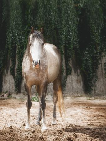 Beautiful gray horse in sand paddock Фото со стока