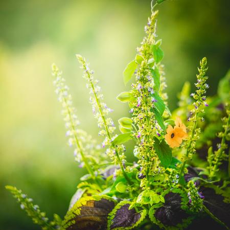 Coleus 꽃과 녹색 자연