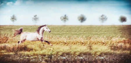 Gray arabian horse running gallop at summer field and sky background, banner