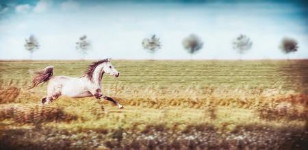 Grijze Arabische paard lopende galop bij de zomergebied en hemelachtergrond, banner