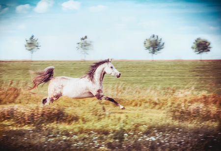 Gray arabian horse running gallop at late summer field and sky background