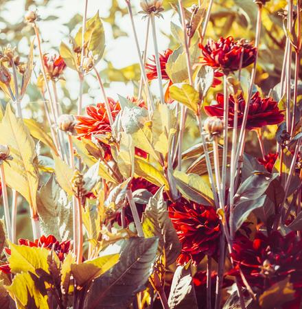Il fondo floreale con le dalie di Borgogna fiorisce in giardino o in parco, quadrato Archivio Fotografico - 85703989