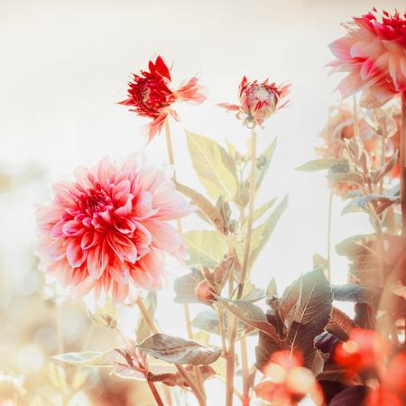 Bel rosso Dahlias fiori in giardino o parco, quadrato Archivio Fotografico - 85703988