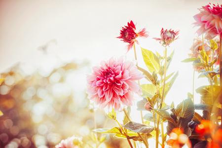 Bellissimo giardino d'autunno con fiori di dalie Archivio Fotografico - 86251825