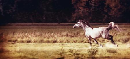 Grijze paard lopende galop bij de herfstgebied, banner Stockfoto