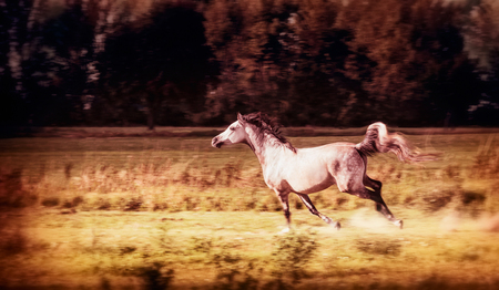 Arabian Horse running gallop at autumn field
