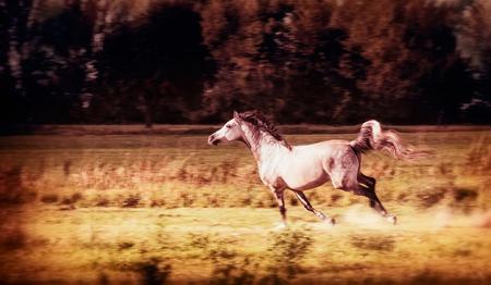 Arabisch Paard loopt galop in de herfst veld