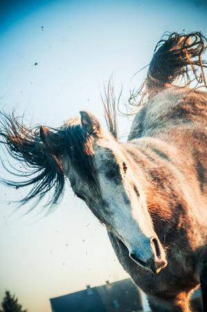 Paard aan het spelen in een sprong op de voorpoten en schokken met zijn achterpoten. Paard om een handstand te doen