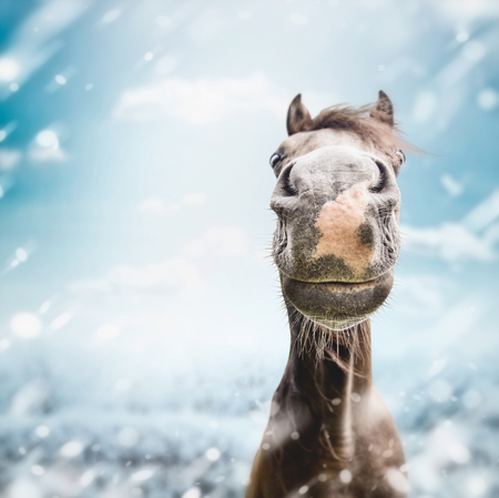 Funny horse face Muzzle  with nose at winter and snow nature background. Stock Photo
