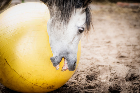 말 재생 및 물고 큰 노란 공, 가까이