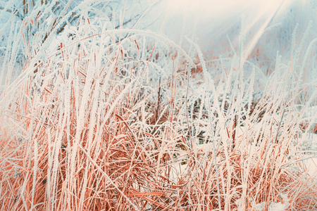 Winter nature background with close up of frozen and snow covered grass Stock Photo