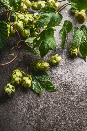 Fresh hops on rustic gray background, close up Imagens