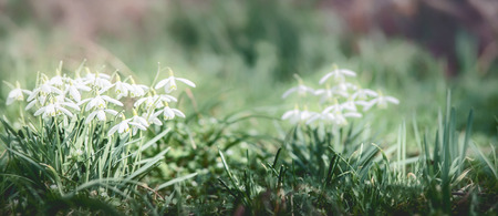 De banner met de eerste bloemen van de lentesneeuwklokjes bij openluchtaardachtergrond in tuin, park of bos, vooraanzicht. Lente concept Stockfoto