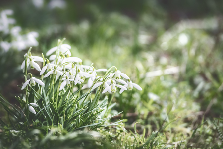 First sprig snowdrops flowers at outdoor nature background in garden, park or forest, front view. Springtime concept