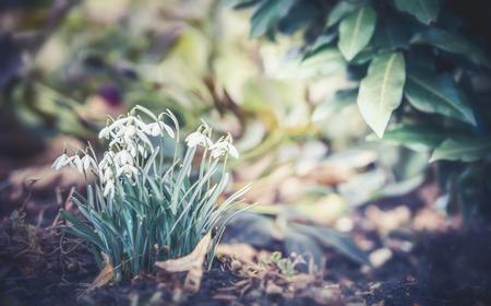 De eerste twijg bloeit sneeuwklokjes bij openluchtaardachtergrond, vooraanzicht