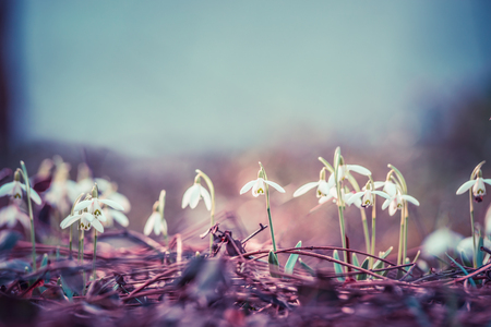 Pastel toned first sprig flowers snowdrops at outdoor nature background, front view, place for text Stock Photo