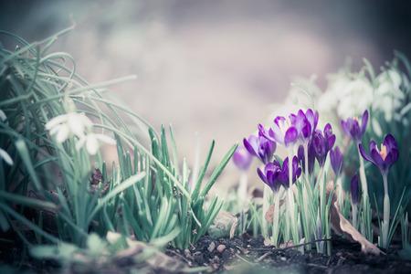 De aardachtergrond van de lente met mooie krokussen op tuinbed met snowdropps Stockfoto
