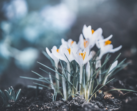 Springtime nature with close up of first crocuses