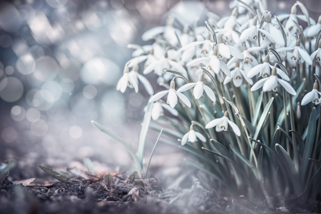 Sprig snowdrops flowers at outdoor nature background with bokeh in garden, park or forest, front view. Springtime concept Stok Fotoğraf