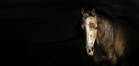 Portrait of horse head at dark background, banner.  Looks at the camera